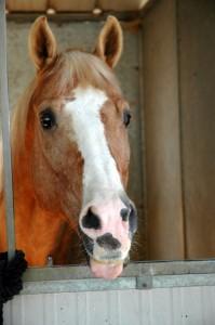 Jesse, quarterhorse
